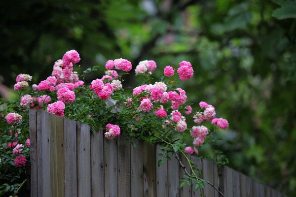 有情芍药含春泪,无力蔷薇卧晓枝——蔷薇花