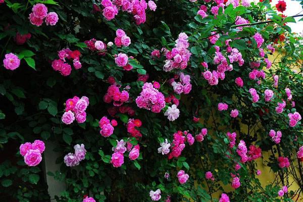 墙外的蔷薇花