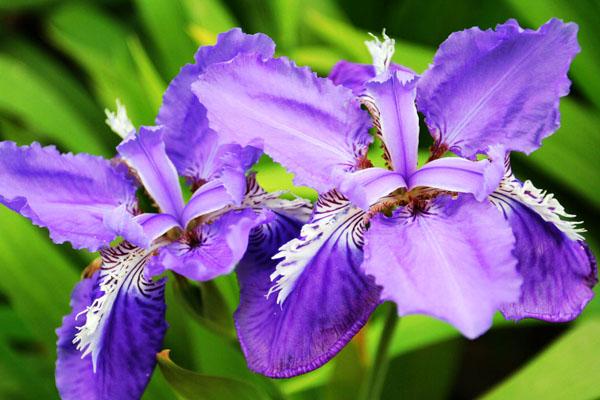 紫色的鸢尾花