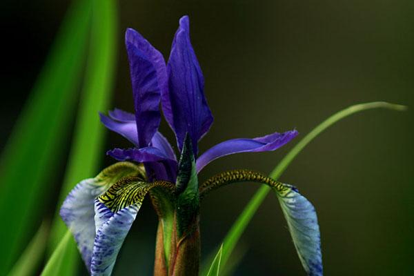 紫色鸢尾花开三瓣