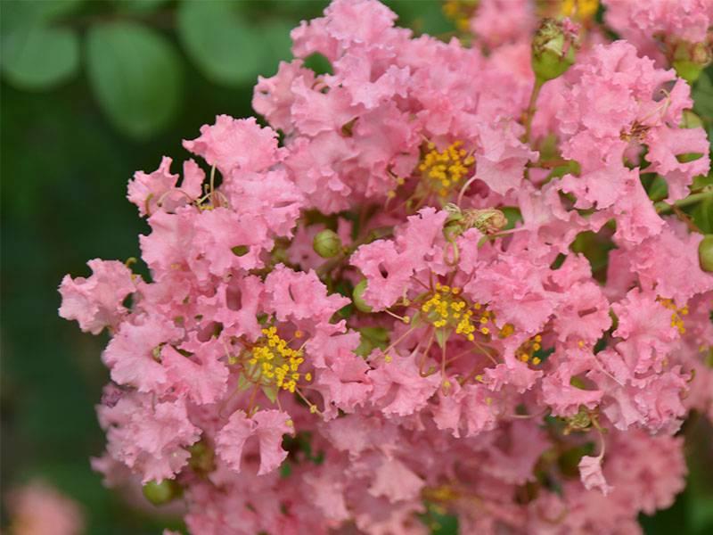 粉色紫薇花