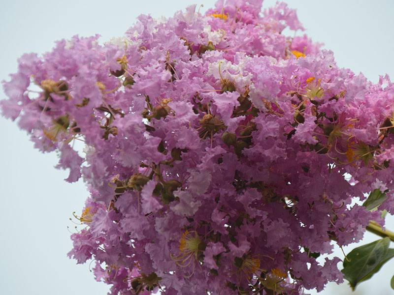 紫薇花花球
