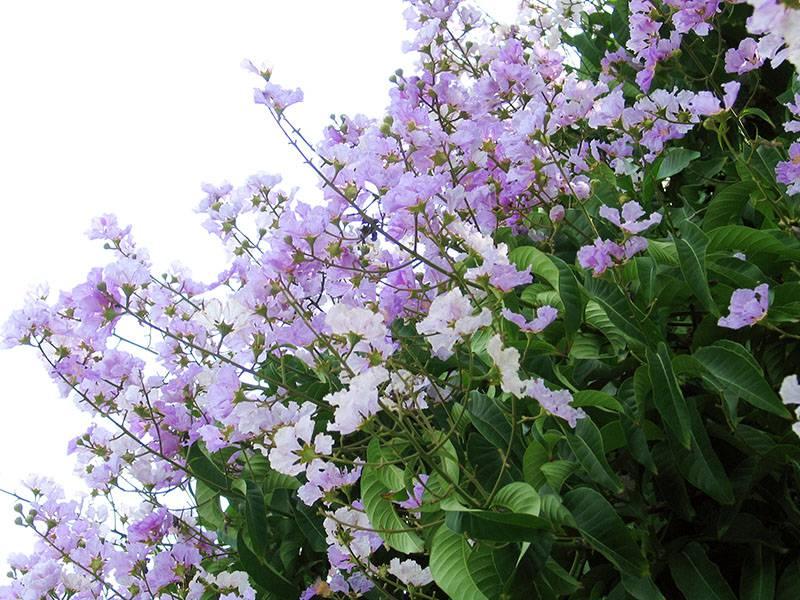 紫薇花图片