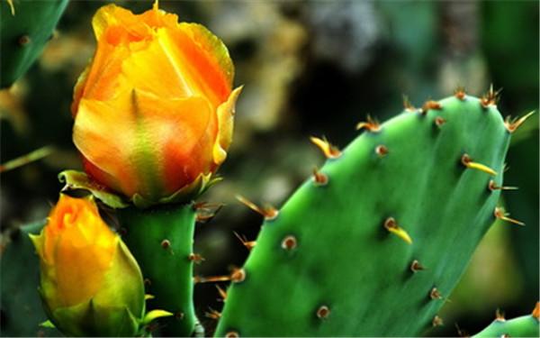 花朵似火的仙人掌
