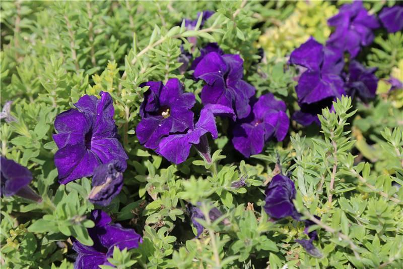 紫色矮牵牛