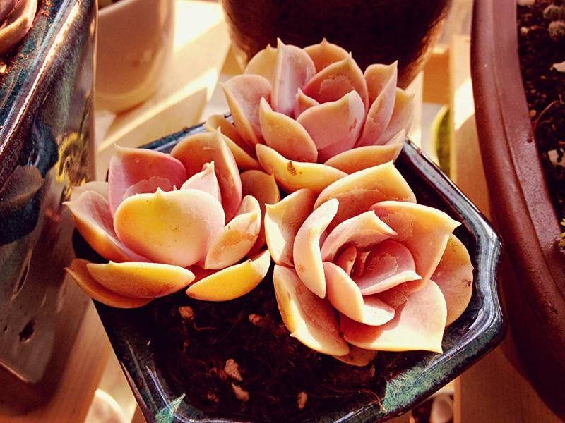 簇拥的紫珍珠