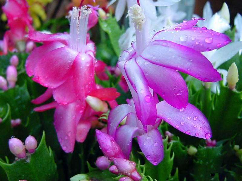 粉紫色蟹爪兰
