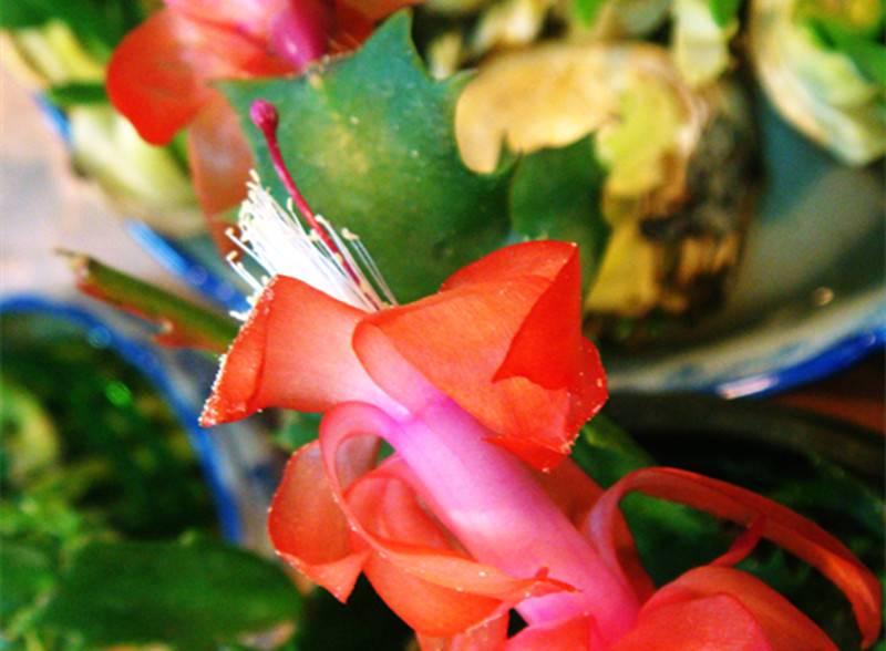 蟹爪兰图片