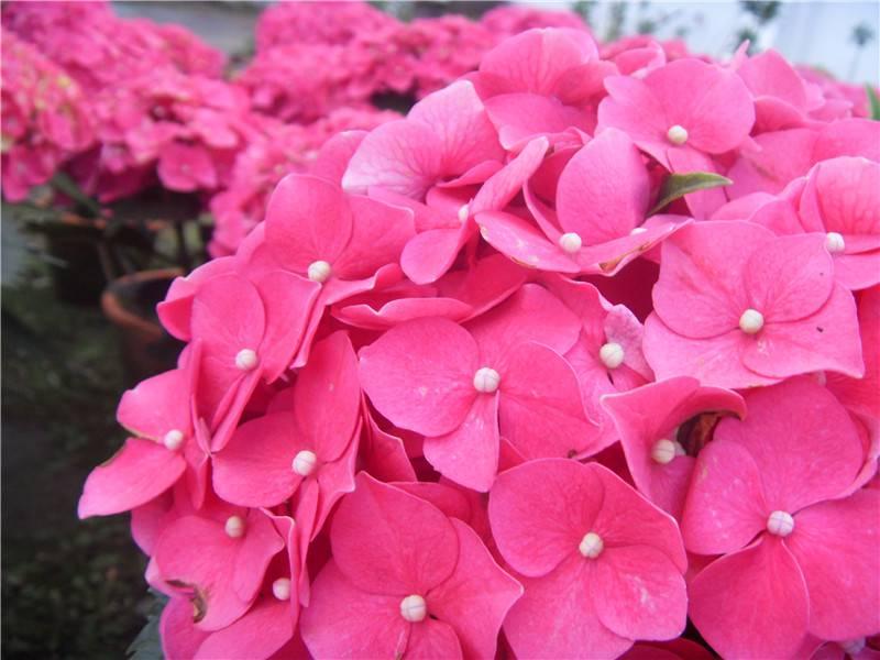 八仙花开放