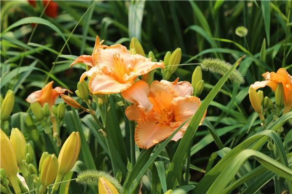 橙色萱草花