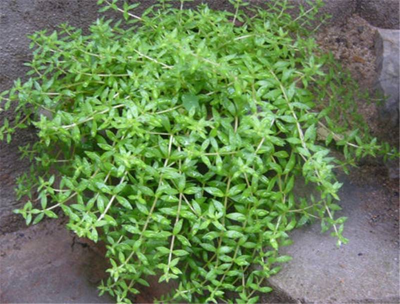 雨天的垂盆草