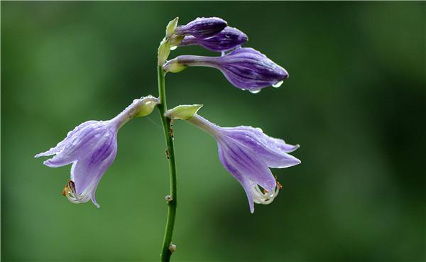 玉簪花精美图片