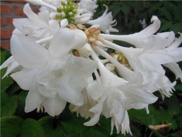 花中仙子——玉簪花