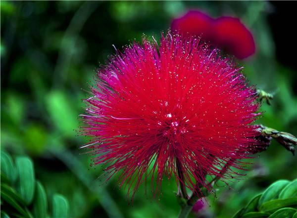 美丽的朱缨花