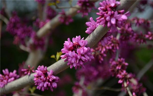 紫荆高清图片