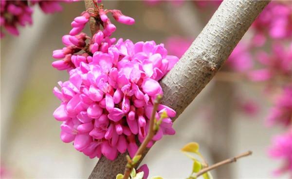 紫荆的叶片