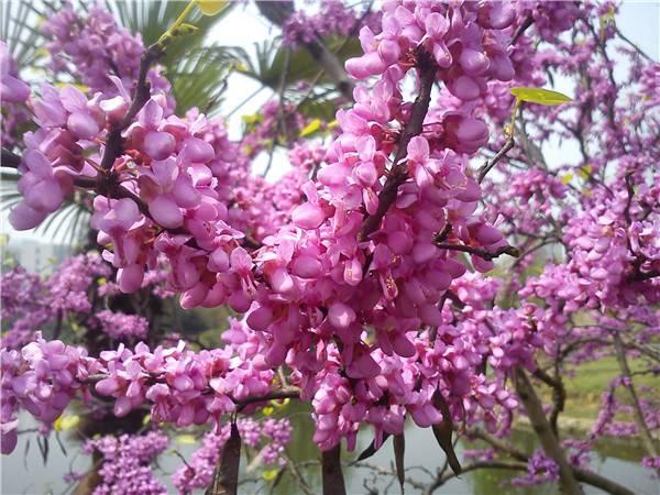浪漫的紫荆
