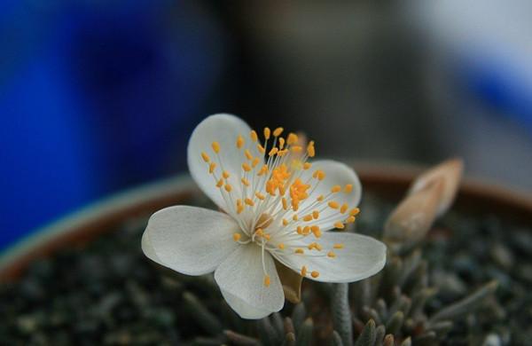 美丽的白花韧锦