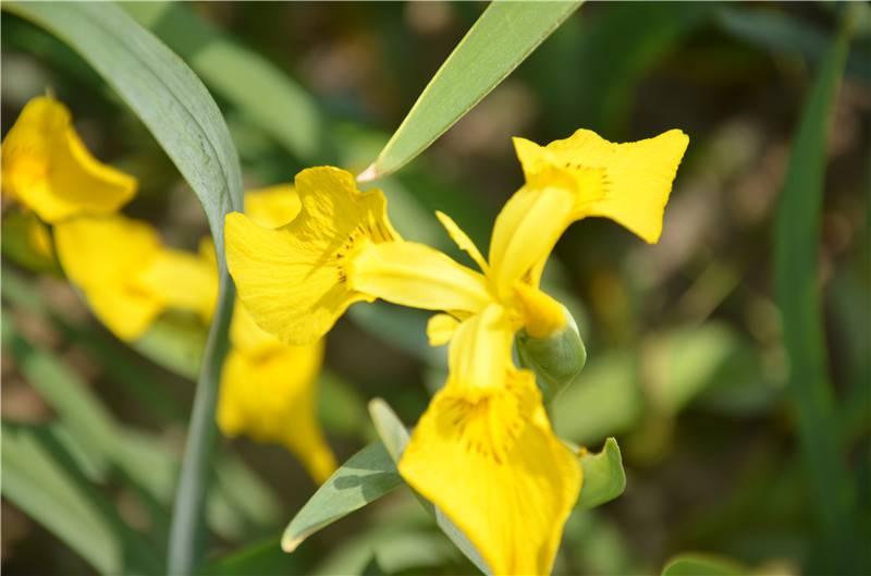 美丽的黄花鸢尾图片欣赏