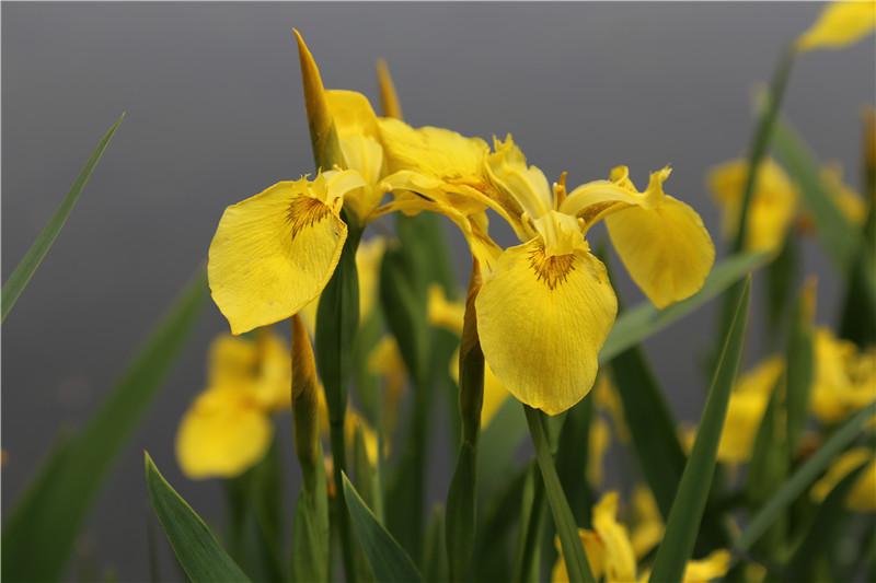 美丽的黄花鸢尾图片