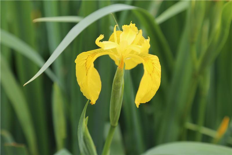 美丽的黄花鸢尾