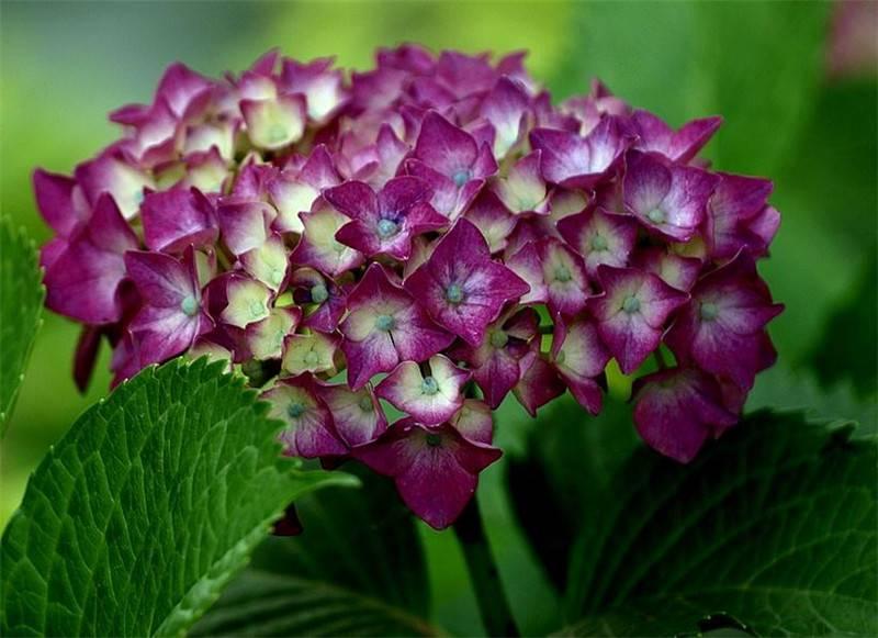 八仙花高清图片欣赏