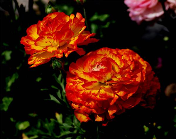 橙色花毛茛