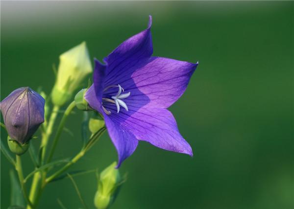一朵桔梗花