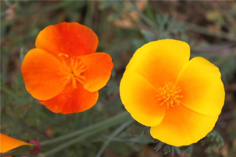 花菱草开花