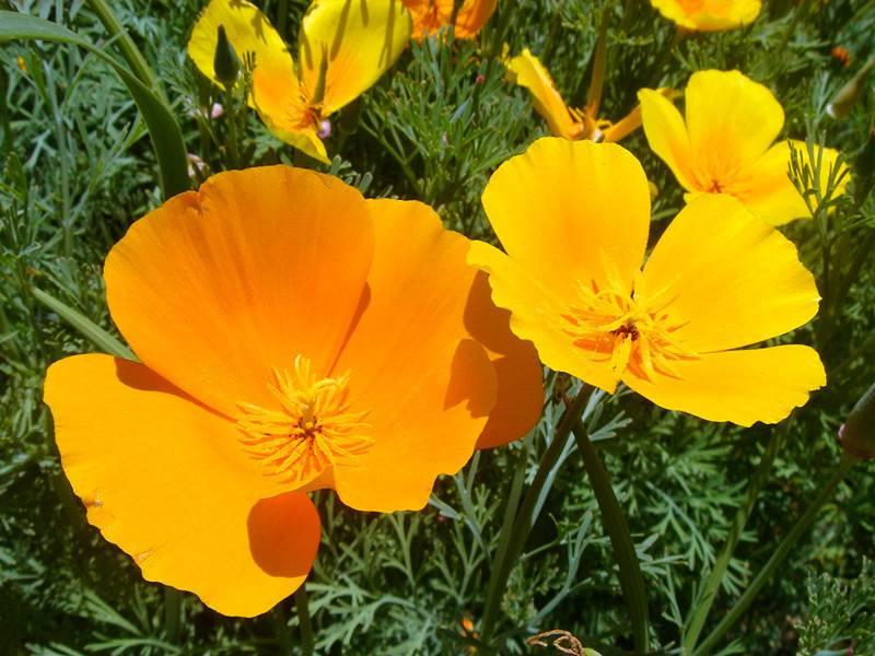 美丽花菱草