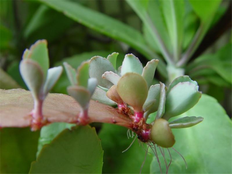 落地生根叶片上的小芽
