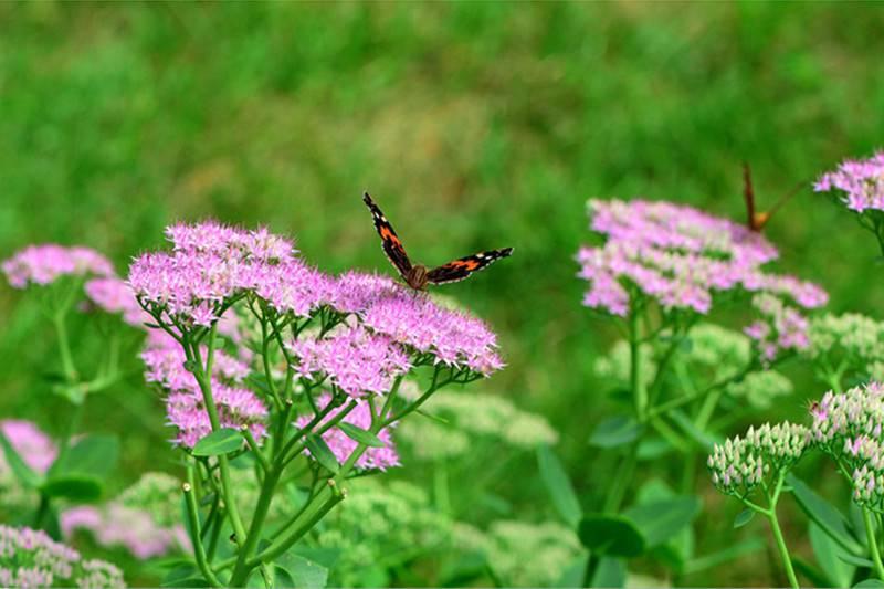 一株招蜂引蝶的八宝景天
