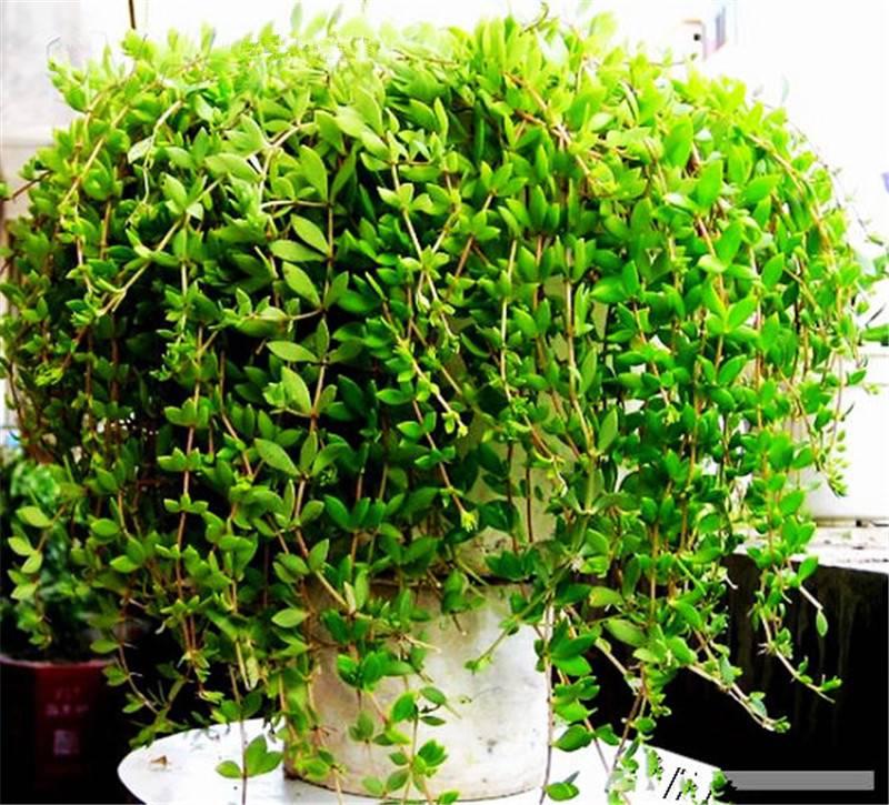 爆盆的垂盆草
