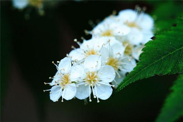 珍珠梅白色小花