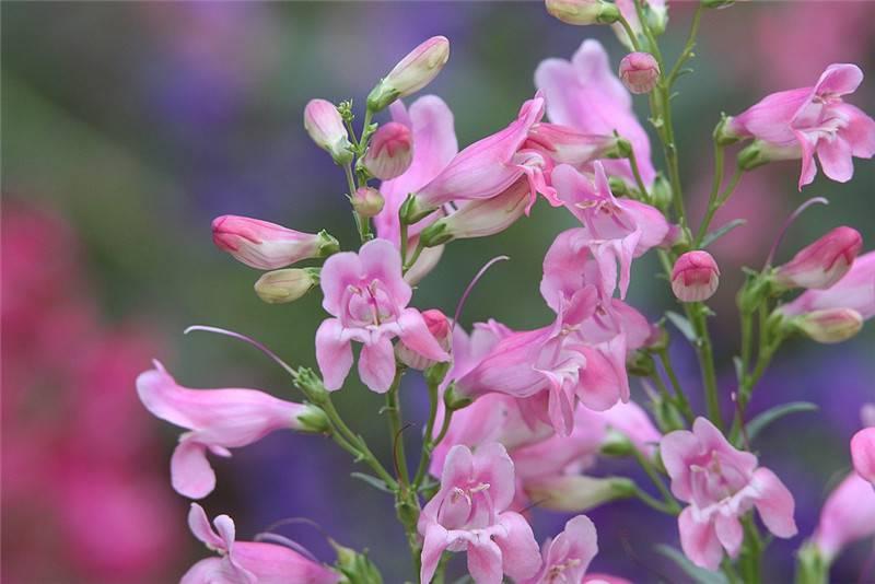 粉色钓钟柳