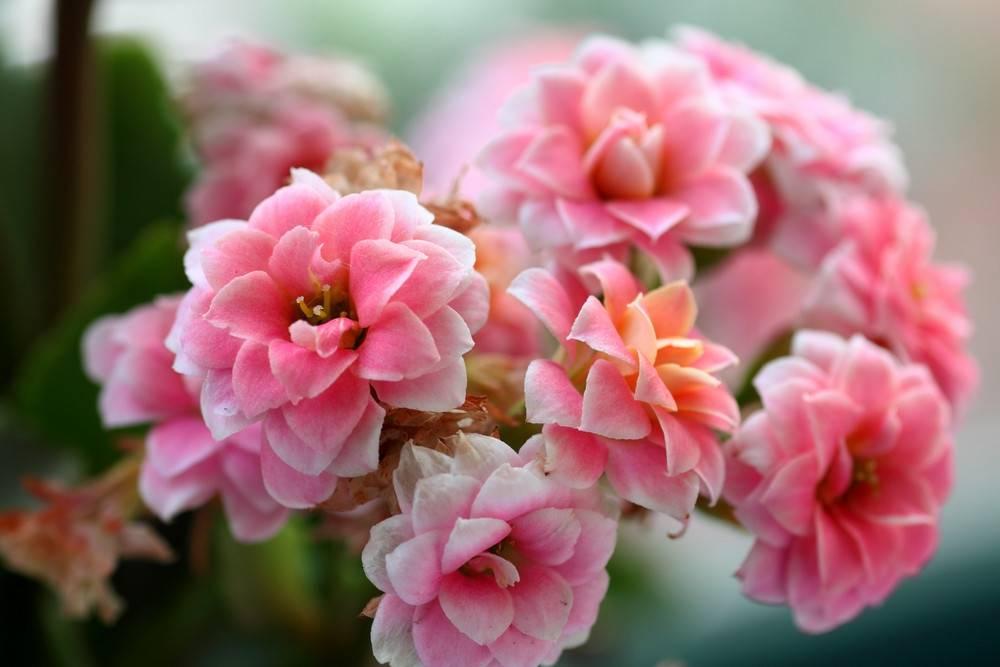 福禄安康长寿花
