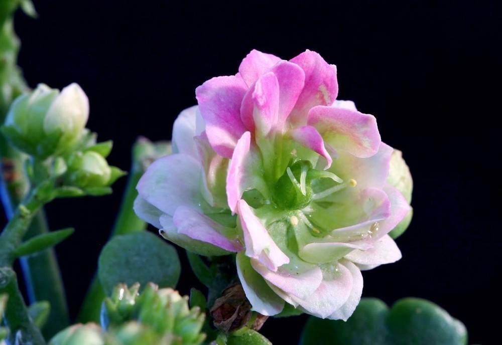 虚幻的长寿花