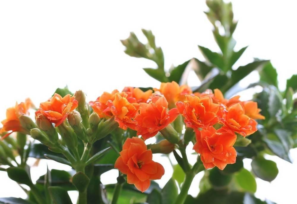 迷离的长寿花