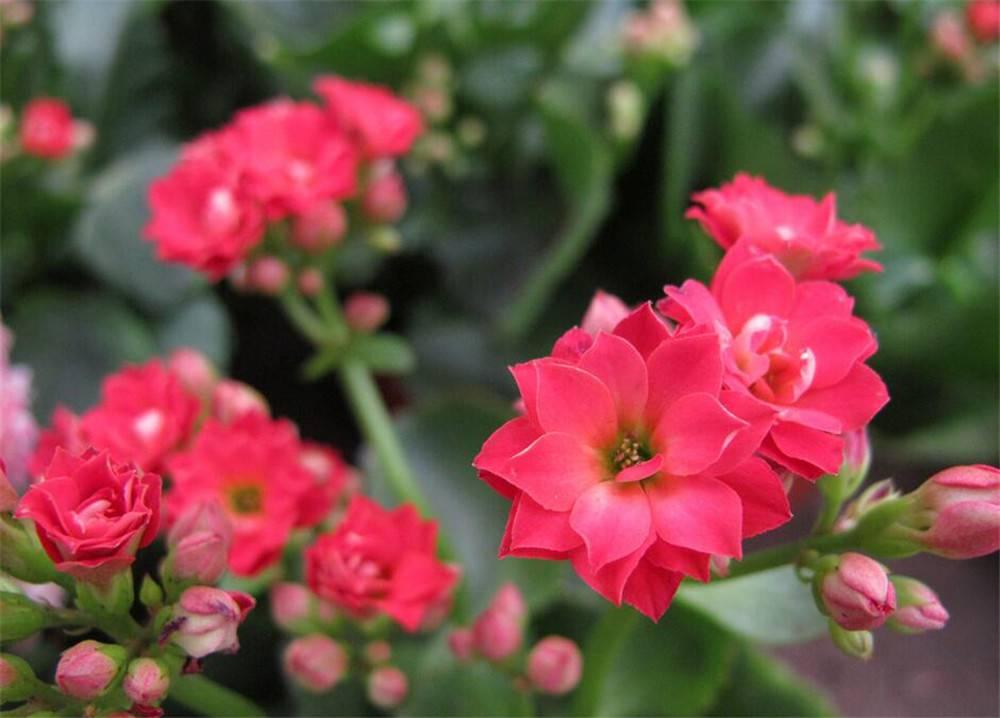 喜庆的长寿花