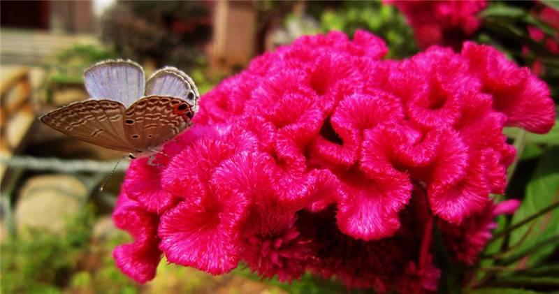 鸡冠花图片欣赏