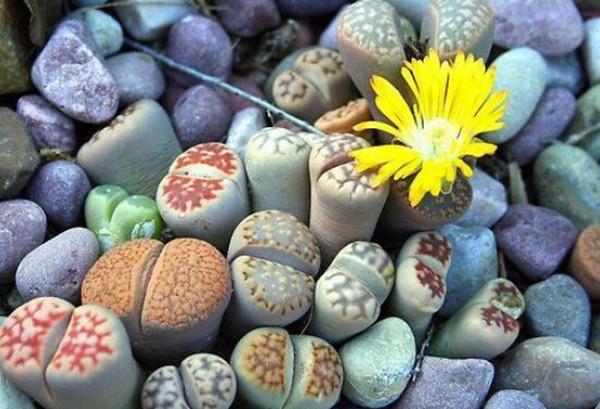 石头居然会开花——生石花