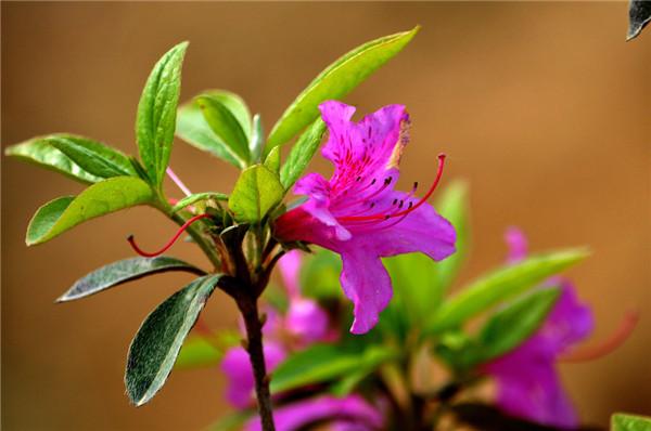 紫色杜鹃花