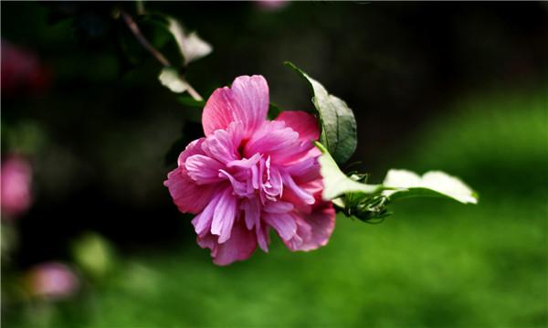 木槿开花的季节