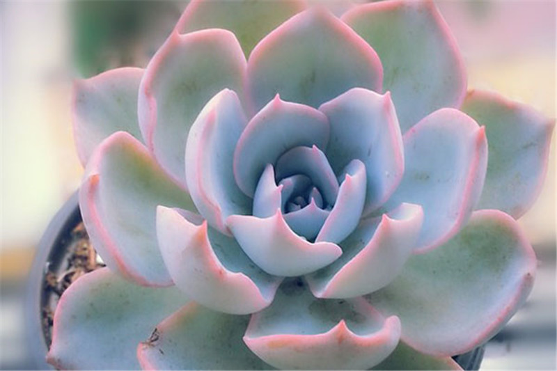 色彩鲜艳的蓝石莲