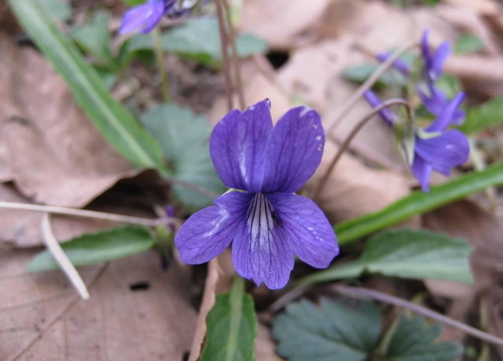 紫花地丁美图欣赏
