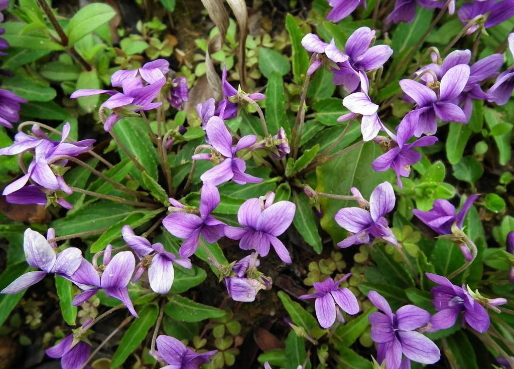 紫花地丁美图