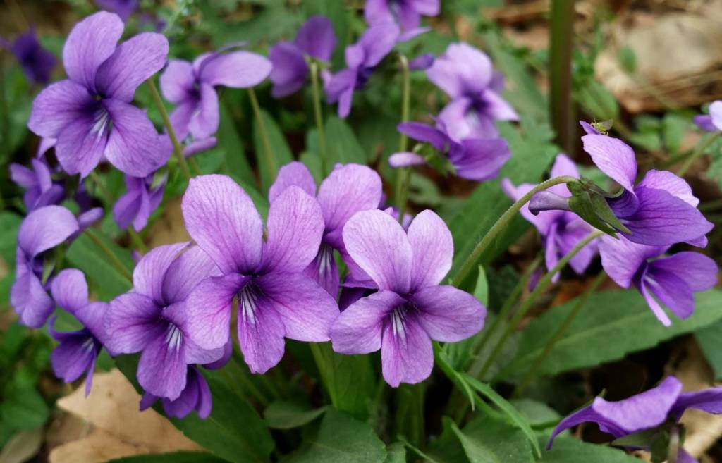 花小志不小的紫花地丁