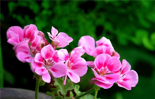 娇艳的天竺葵