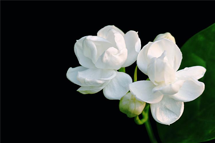 芬芳茉莉花