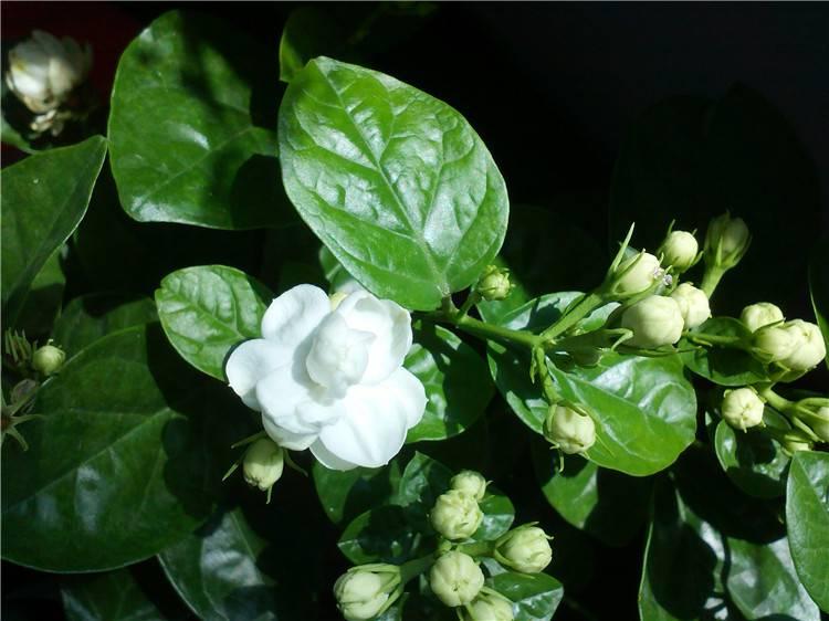 茉莉花的花骨朵